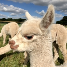 Acton Hill Alpacas